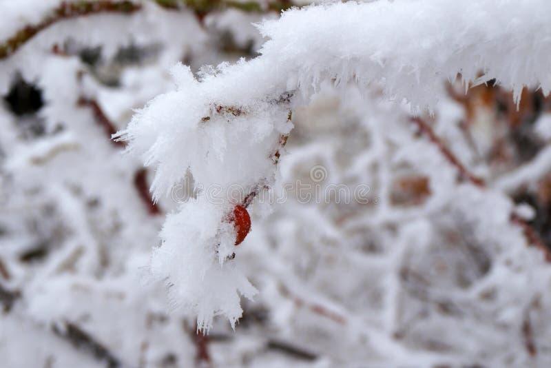 Rosa höft som döljas under frost royaltyfria foton