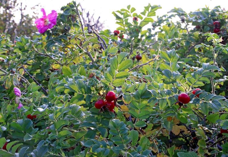 Rosa höftblomma-höst leende En härlig rosa färgblomma på en frukt royaltyfri foto