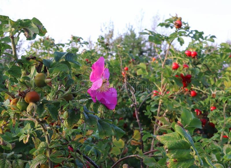Rosa höftblomma-höst leende En härlig rosa färgblomma på en frukt arkivbild