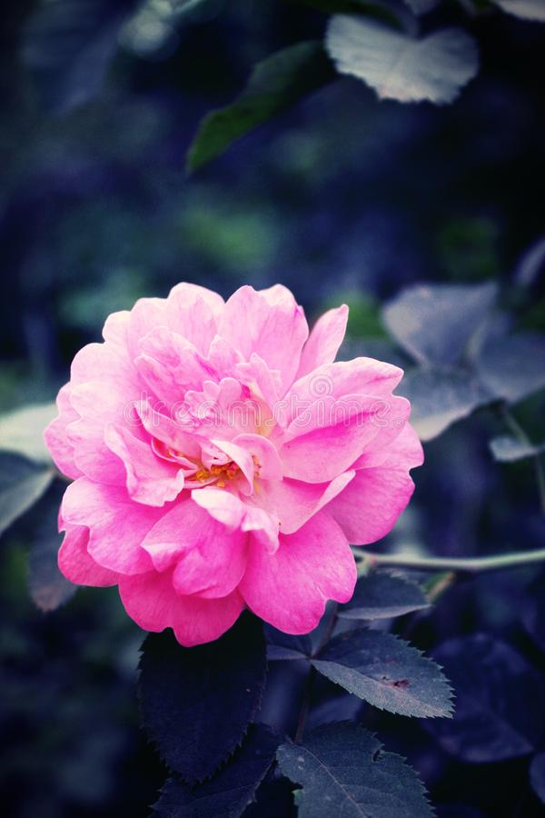 Rosa höftblomma i sidor Steg royaltyfria bilder