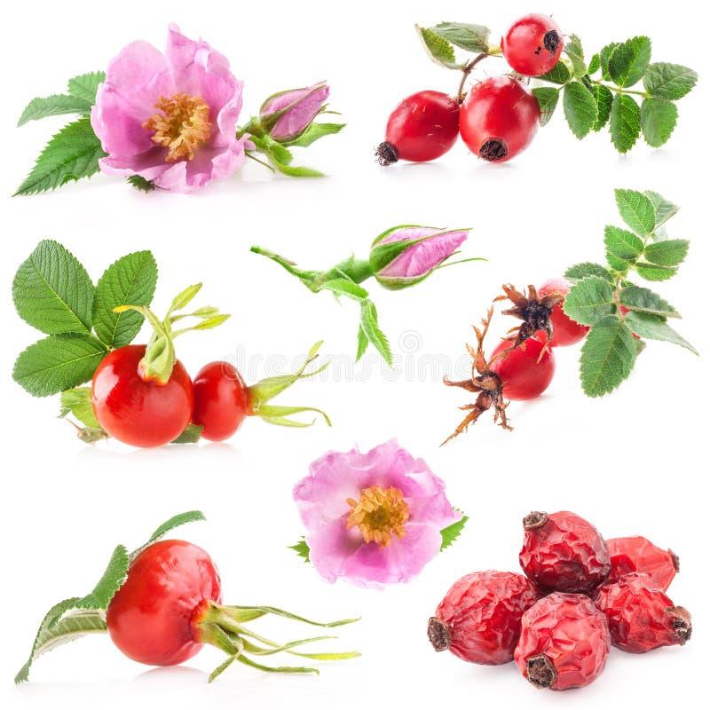Rosa höftblommor och frukter arkivfoton