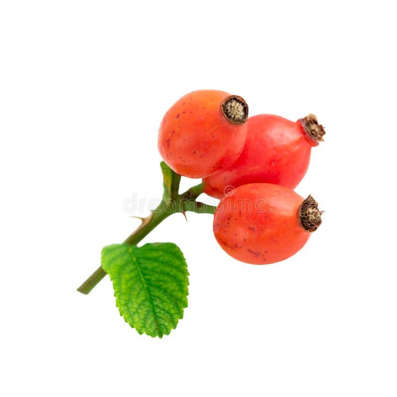 Rosa höfter tre röda mogna nypon som isoleras på vit arkivbilder