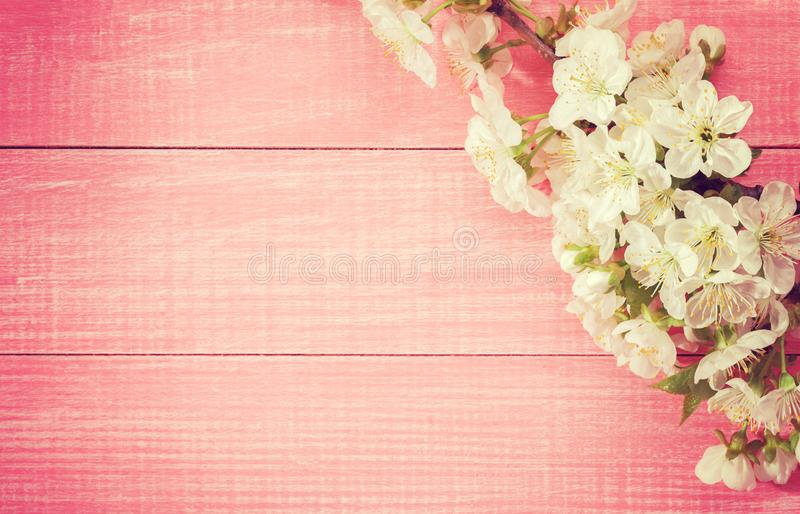 Rosa hölzerner Hintergrund mit blühender süßer Kirsche verzweigt sich Getontes Bild stockbild