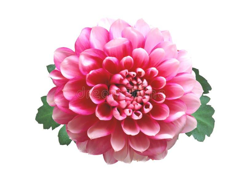Rosa höstkrysantemum som isoleras på vit arkivfoton