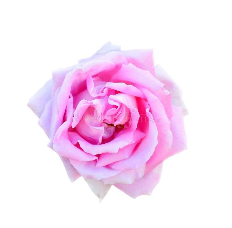 Rosa ha isolato su una priorità bassa bianca Completamente apra il capolino delicato della rosa di rosa isolato su fondo bianco immagine stock