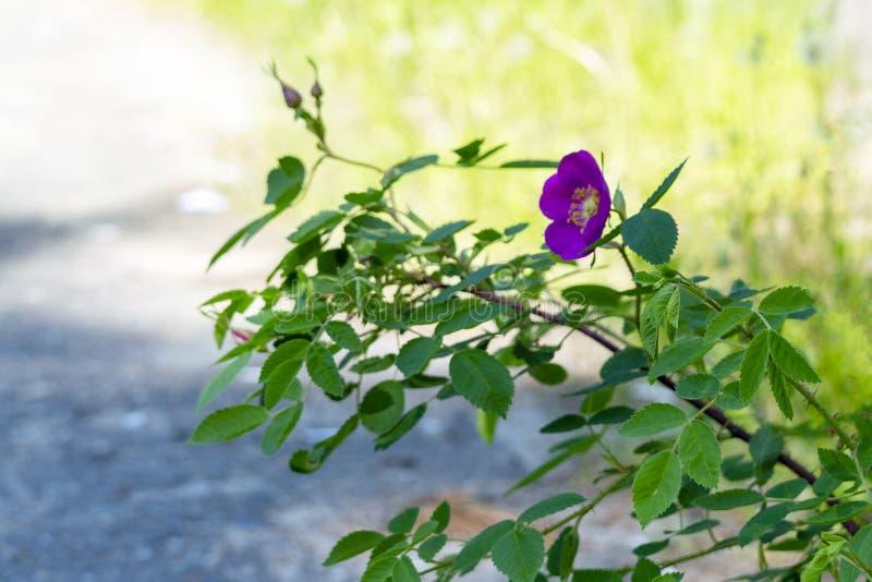 Rosa Hagebuttenblume in einem Park in der Stadt stockfotos