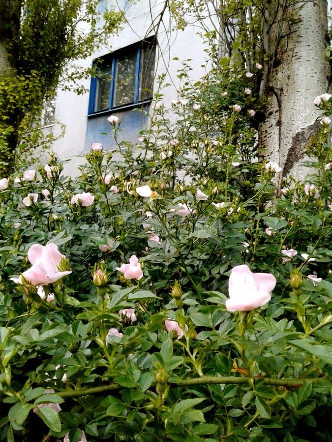 Rosa Hagebuttenblumen unter dem Fenster Haus mit blauen Wänden stockfotografie