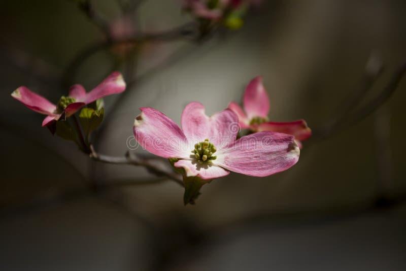 Rosa Hartriegel-Blüte während des Frühlinges im direkten Sonnenlicht stockfotos