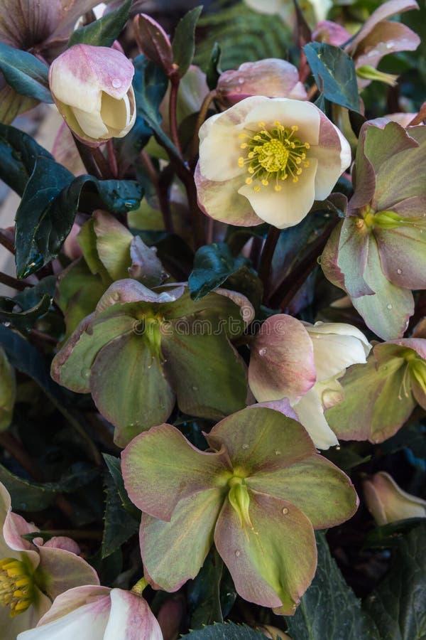 Rosa Helleboreanlage mit Blumen in der Blüte und in den Regentropfen stockbilder
