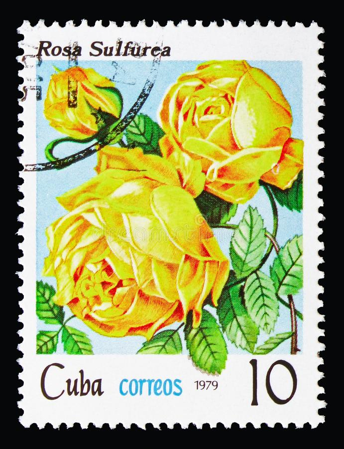 Rosa hemisphaerica, Flowers - Roses serie, circa 1979. MOSCOW, RUSSIA - AUGUST 18, 2018: A stamp printed in Cuba shows Rosa hemisphaerica, Flowers - Roses serie stock photo