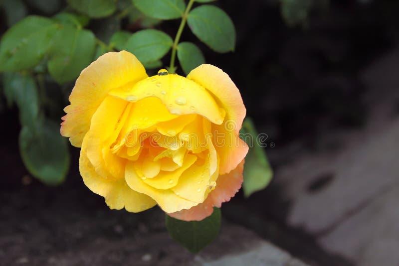 Rosa hermosa del amarillo en fondo oscuro fotografía de archivo