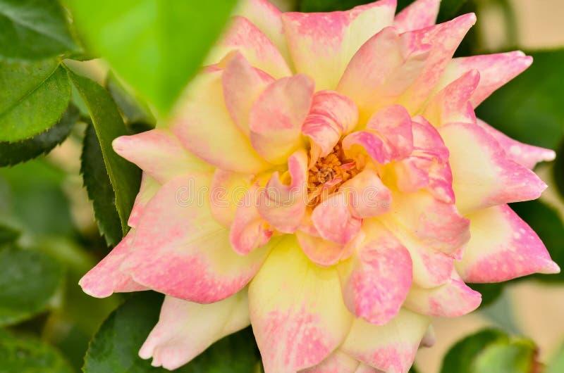 Rosa hermosa del color de la mezcla fotos de archivo libres de regalías