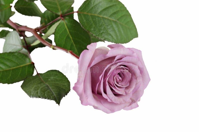 Rosa hermosa del rosa como imagen aislada imagenes de archivo