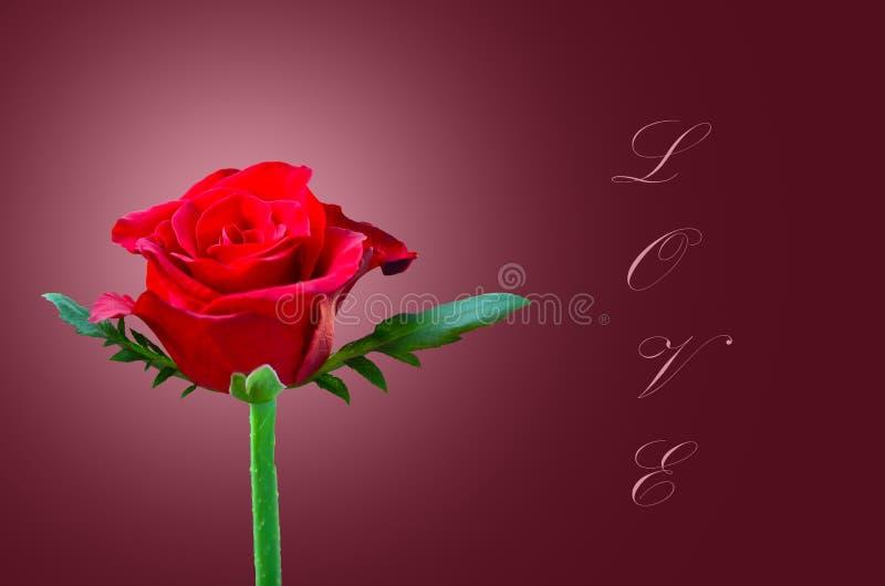 Rosa hermosa del rojo fotografía de archivo