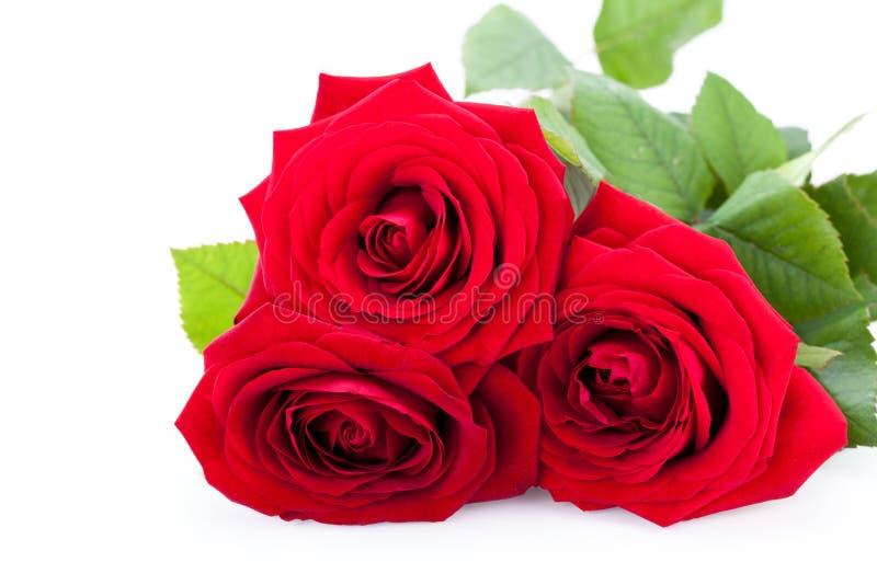 Rosa hermosa del rojo en el bachground blanco imagen de archivo