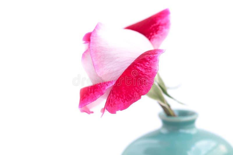 Rosa hermosa del rojo en un florero imagen de archivo