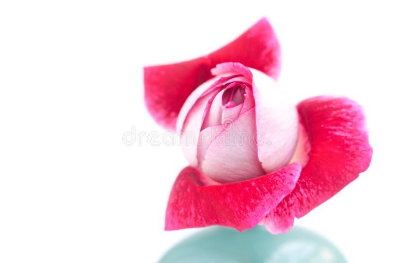 Rosa hermosa del rojo en un florero imagenes de archivo