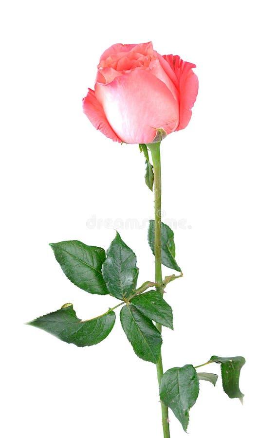 Rosa hermosa del rosa de la sola flor aislada en el fondo blanco foto de archivo