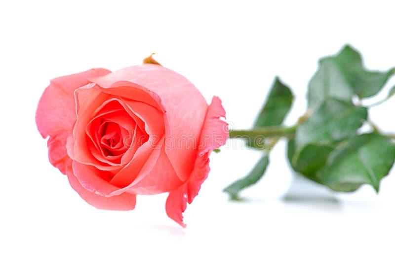Rosa hermosa del rosa de la sola flor en el fondo blanco fotografía de archivo libre de regalías