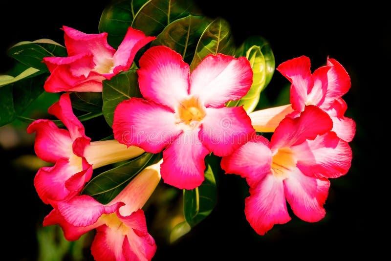 Rosa hermoso de la flor o del lirio de Rose de desierto en el árbol en fondo negro fotos de archivo libres de regalías