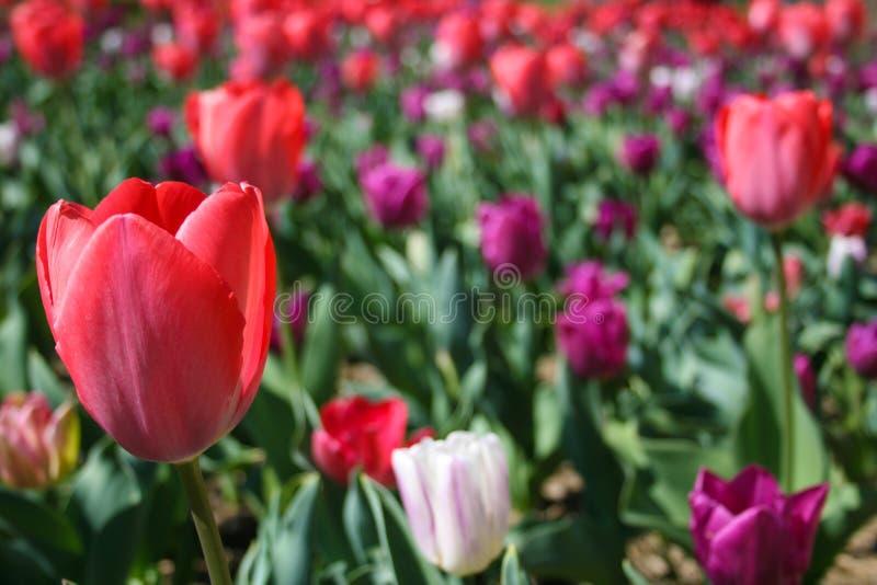 Rosa hermoso, tulipanes rojos, blancos imagen de archivo libre de regalías