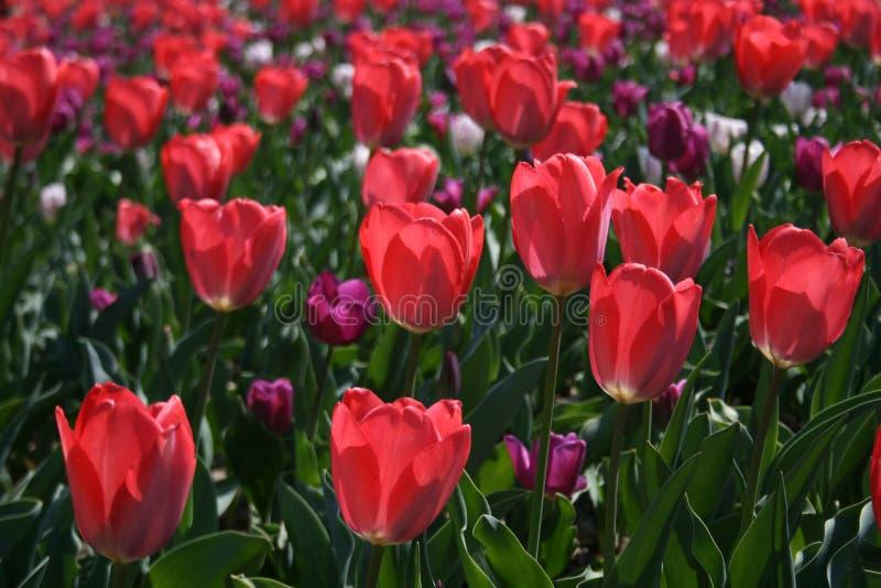Rosa hermoso, tulipanes rojos, blancos imagen de archivo