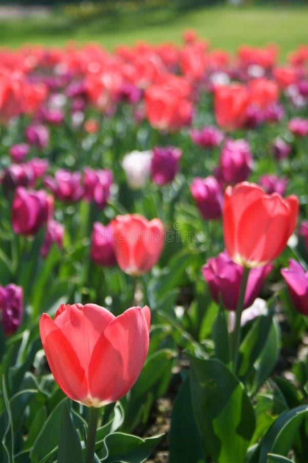 Rosa hermoso, tulipanes rojos, blancos foto de archivo