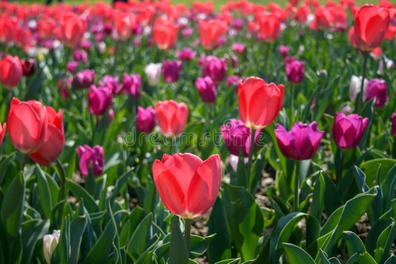 Rosa hermoso, tulipanes rojos, blancos fotografía de archivo libre de regalías
