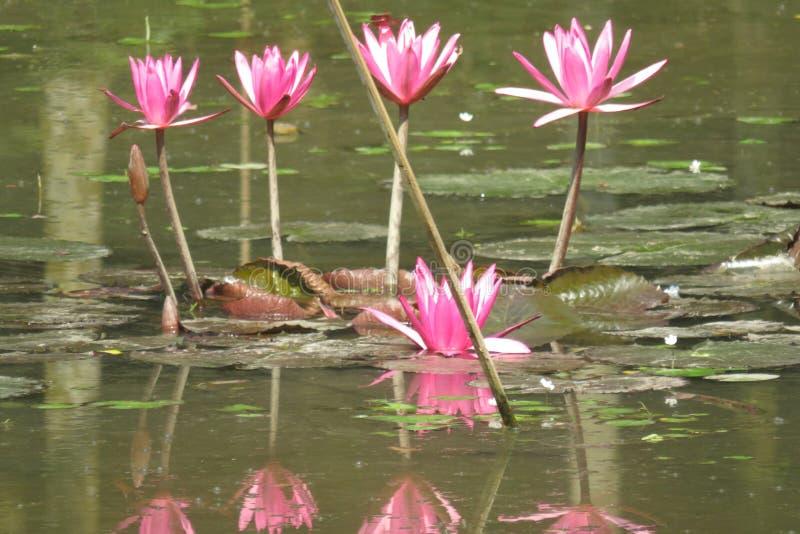 Rosa hermoso waterlily en una charca foto de archivo libre de regalías