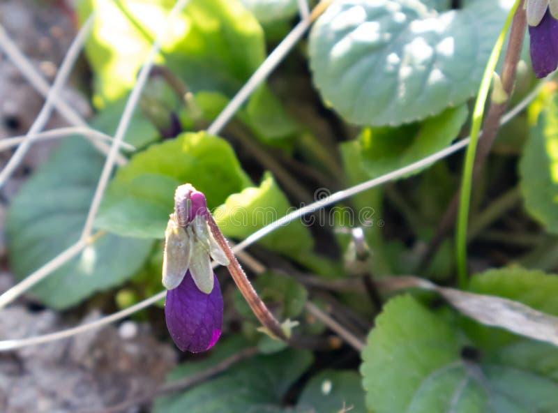 Rosa hermoso y flores azules pequeños cerca para arriba en el fondo de la hierba verde y de las hojas fotos de archivo