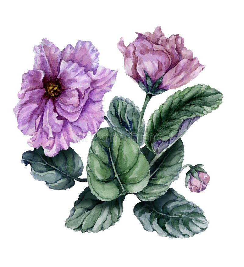Rosa hermoso y Saintpaulia violeta africano púrpura de las flores con las hojas verdes y los brotes cerrados aislados en el fondo ilustración del vector