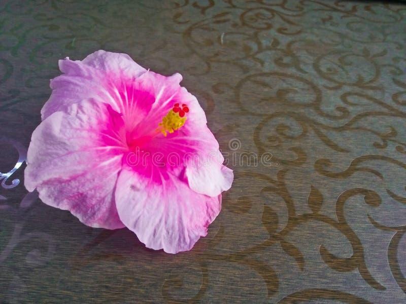 Rosa Hibiscus auf braunem Hintergrund lizenzfreie stockfotografie
