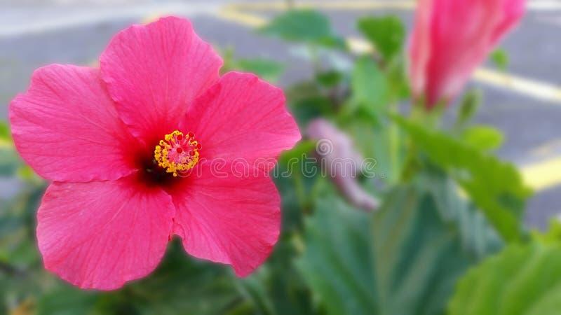 Rosa Hibiscus Maculatus lizenzfreies stockbild