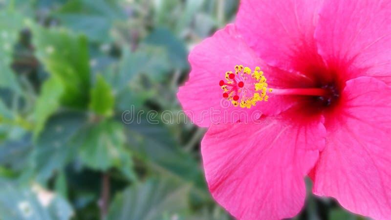 Rosa Hibiscus Maculatus stockbild