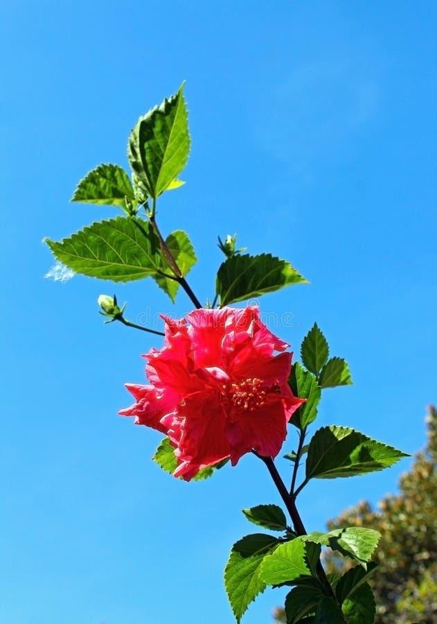 Rosa Hibiscus syriacus Blume und blauer Himmel stockfotografie