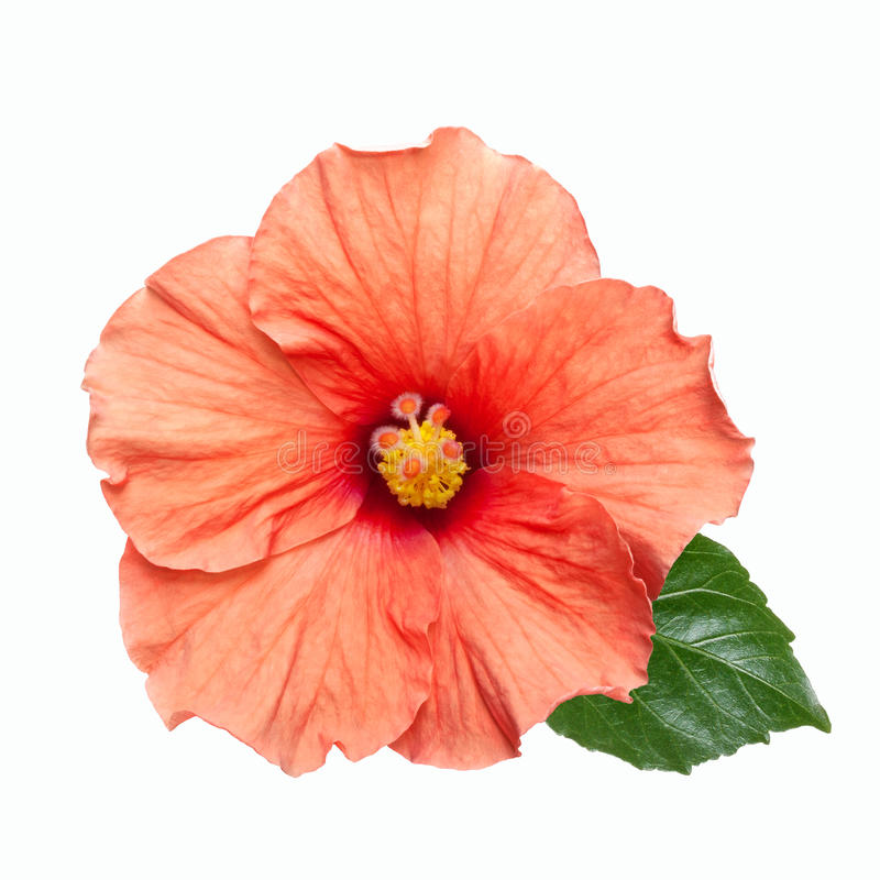 Rosa Hibiscusblume getrennt lizenzfreies stockfoto