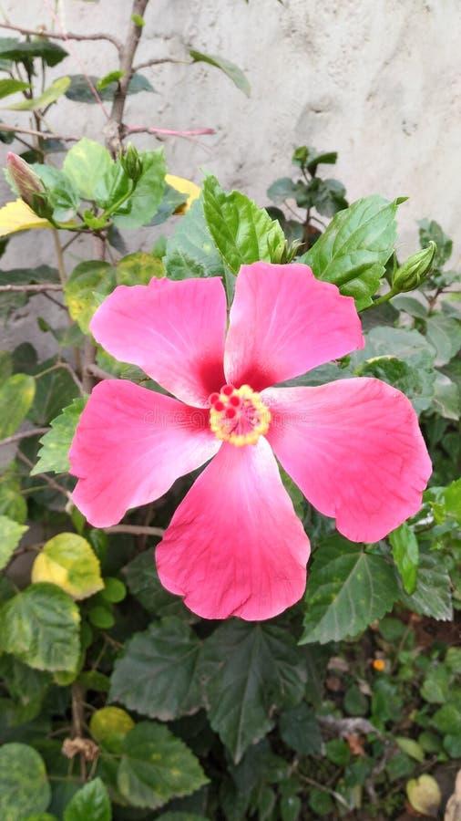 Rosa hibiskus arkivfoto