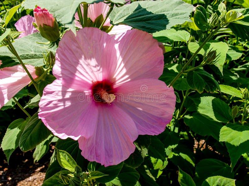 Rosa hibiskusblomMalvaceae arkivbild
