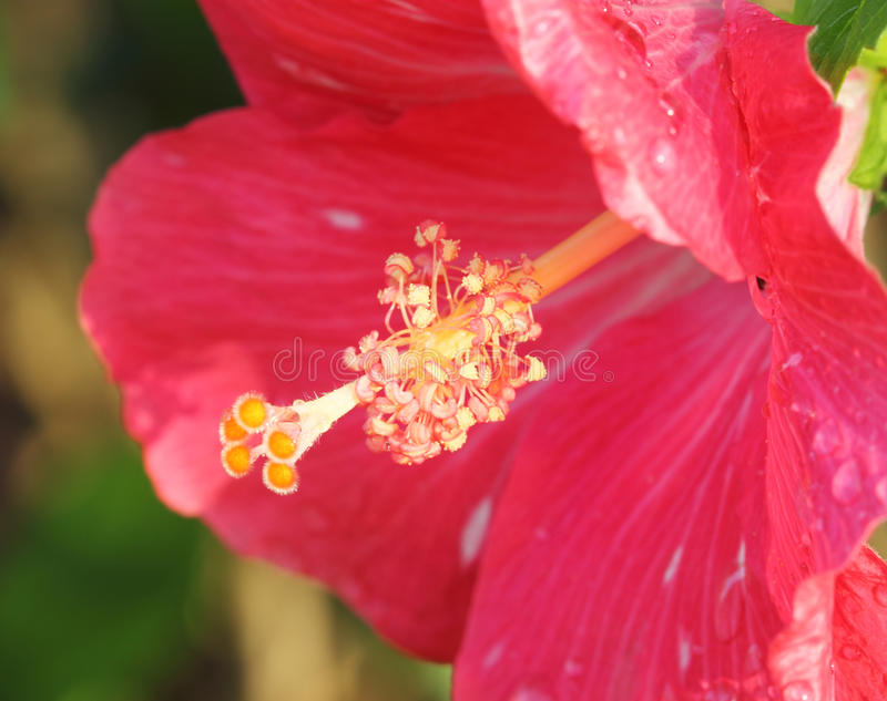 Rosa hibiskusblommapollen royaltyfri fotografi