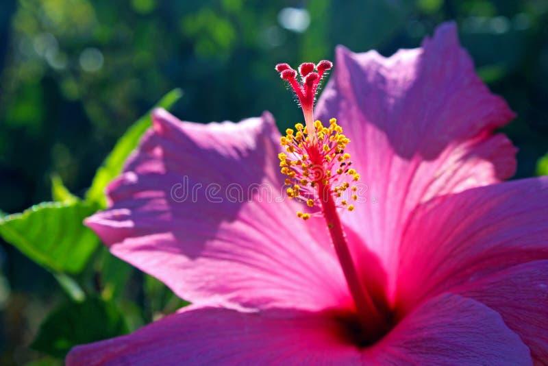 Rosa hibiskusblommor, rosa malva royaltyfria foton