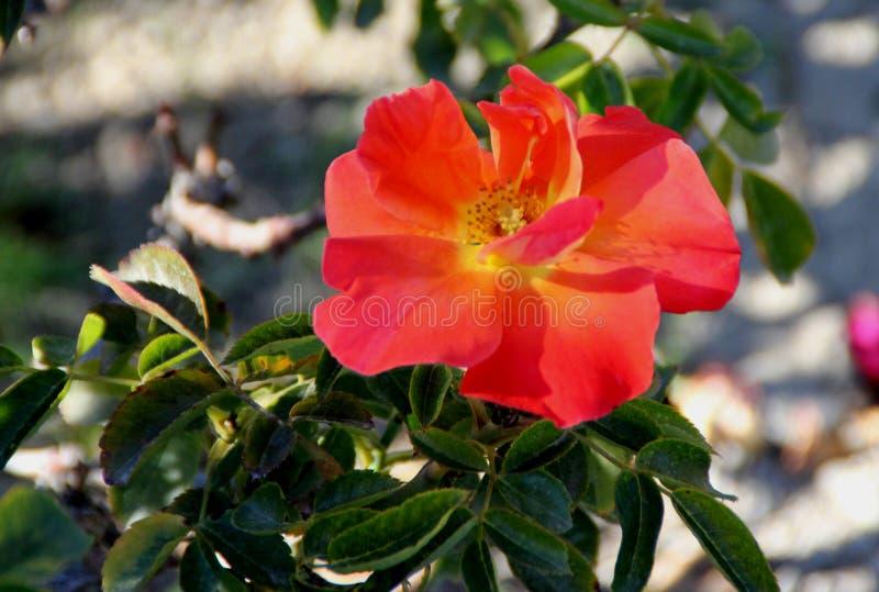 Rosa Hiszpański zmierzch, Floribunda różany cultivar zdjęcie stock