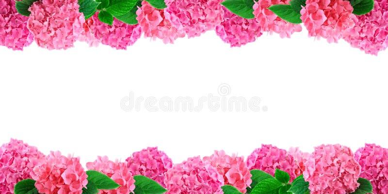 Rosa hortensiablommaram på vit vanlig hortensiablommabakgrund med fritt utrymme för text arkivbilder