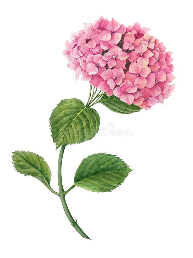 Rosa Hortensieaquarellillustration lokalisiert auf einem weißen Hintergrund stockbild