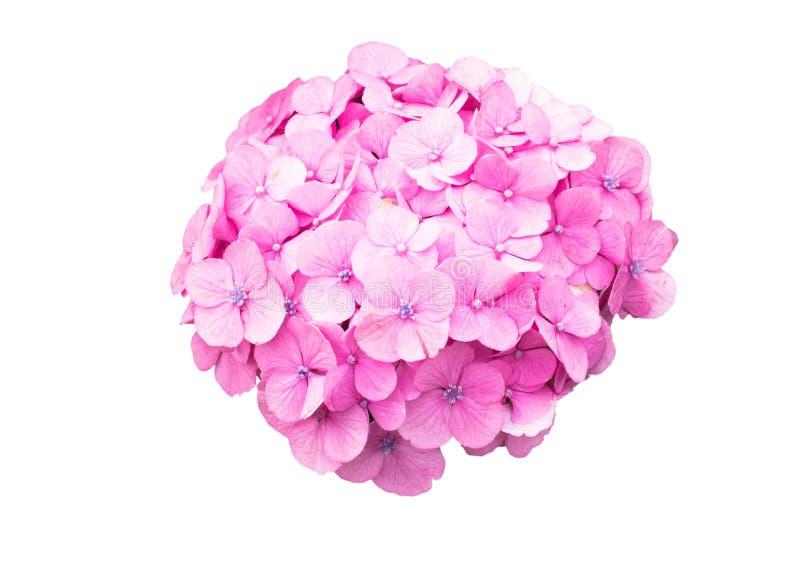Rosa Hortensieblumenisolierung stockfotos