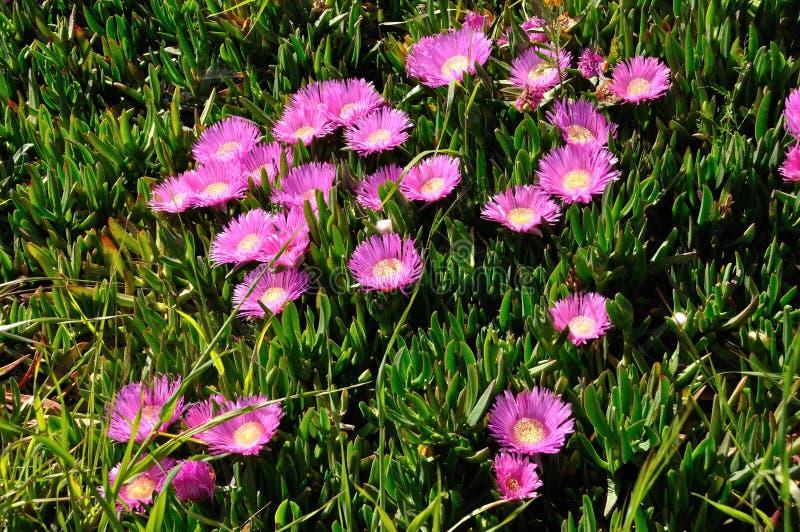 rosa hottentottische Feigen in Bretagne stockfoto