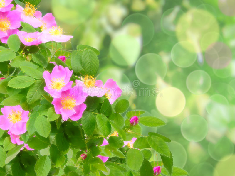 Rosa Hundrosenblumen lizenzfreies stockfoto
