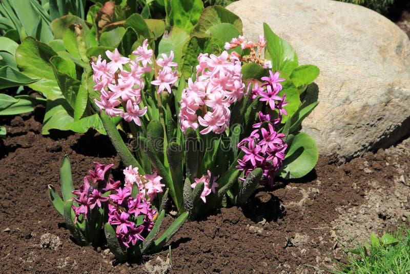 Rosa hyacint royaltyfria foton