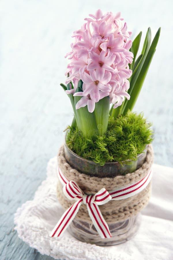 Rosa hyacintblomma i en glass vas arkivfoton