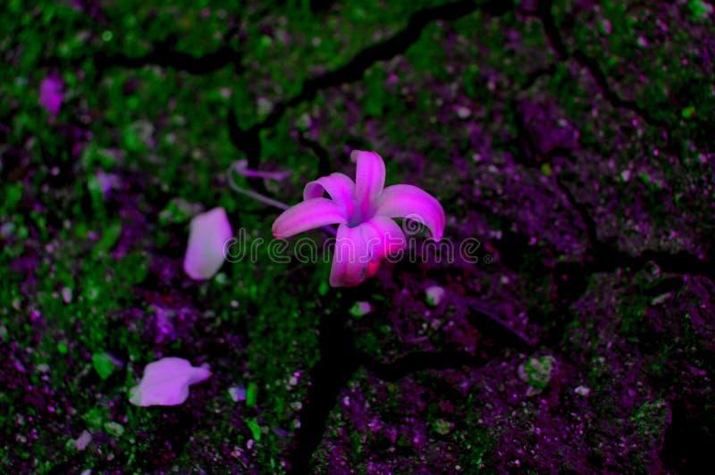 rosa Hyazinthe stockfotos