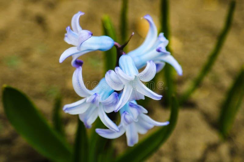 Rosa Hyazinthe des Hintergrundes, die im Frühjahr Feld blüht Nahaufnahme der purpurroten Hyazinthenblumenwiese lizenzfreie stockbilder